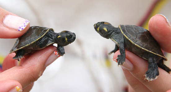 Rescued Baby Turtles
